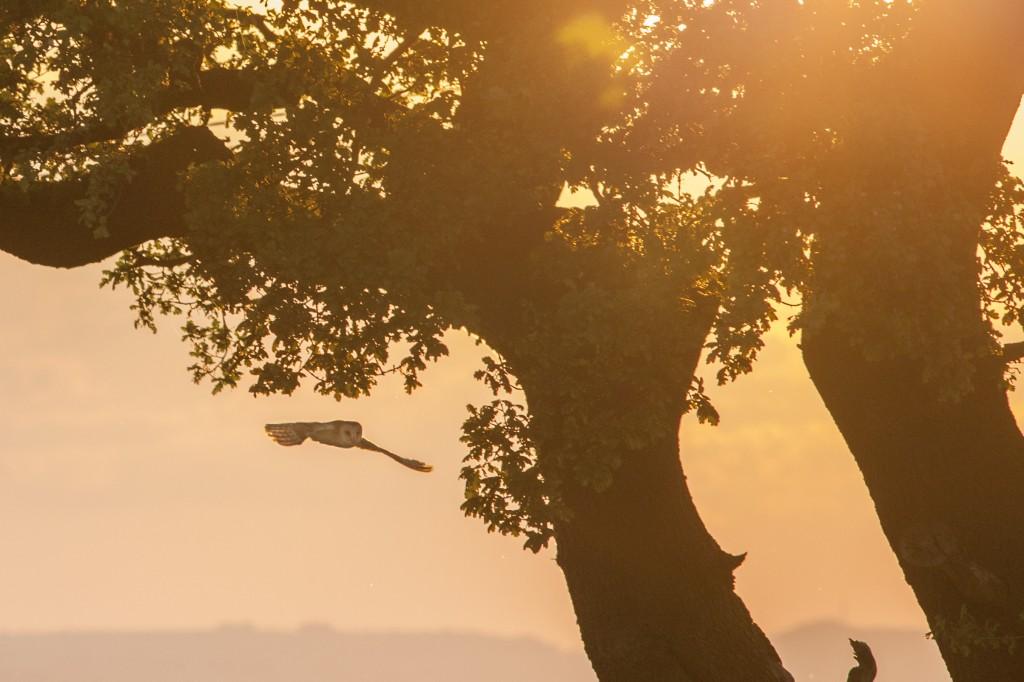 Backlit barn owl at sunset, at 300mm. Near Babbington, Nottinghamshire