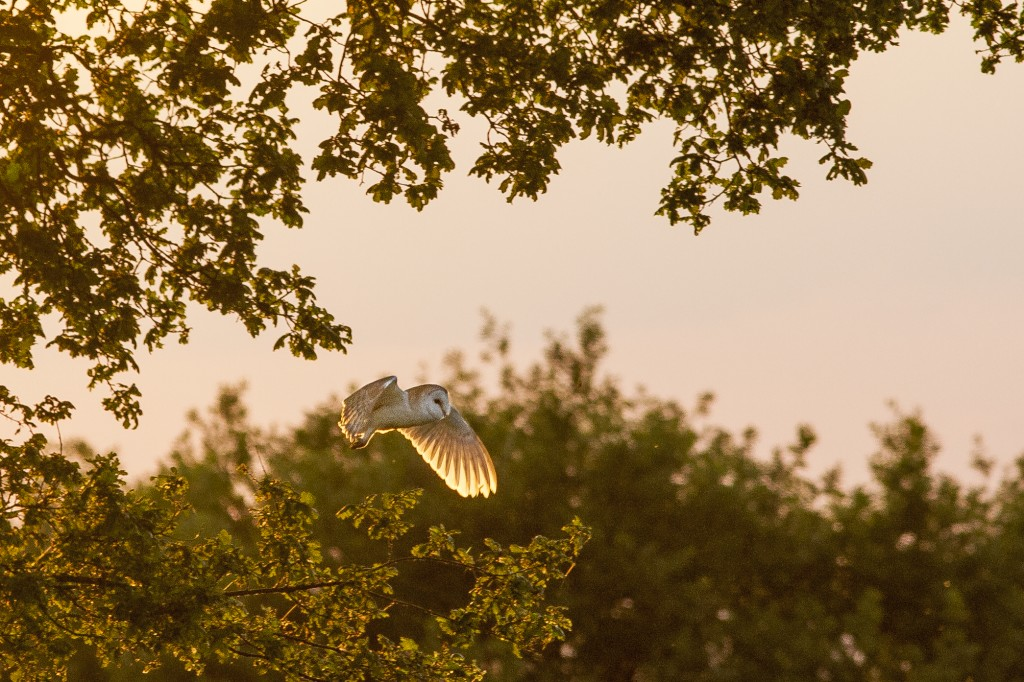 Barn owl at sunset, at 300mm. Kimberley, Nottinghamshire