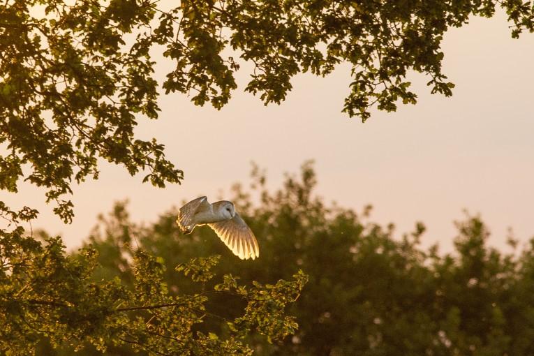 Barn owl at sunset, Kimberley, Nottinghamshire