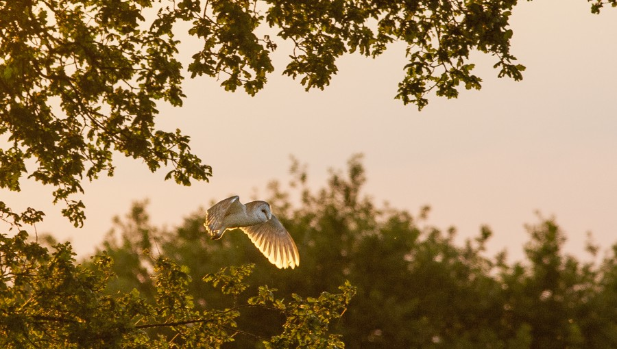 Barn owl at sunset, Kimberley, Nottinghamshire