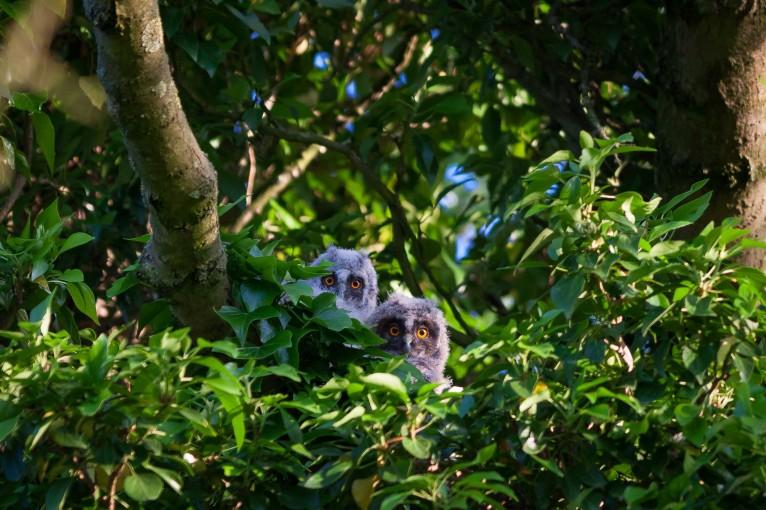 Baby long-eared owls (owlies)